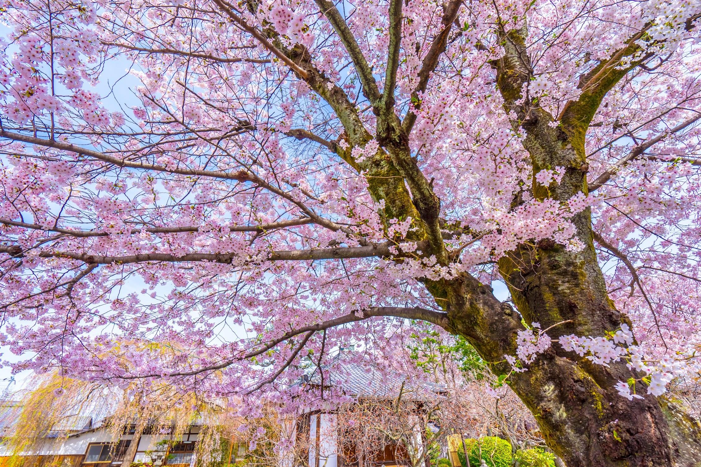 京都 本満寺 桜2