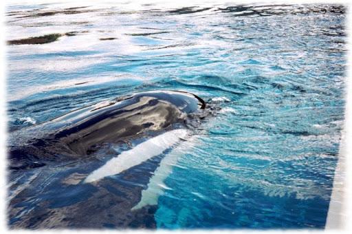 Orca Whales Wallpaper Pics