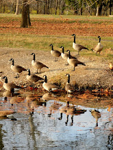 Photo: Gaggle of geese on a pond at Eastwood Park in Dayton, Ohio.