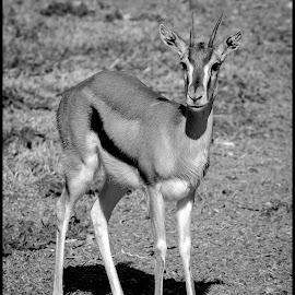 Thomson's Gazelle by Dave Lipchen - Black & White Animals ( thomson's gazelle )