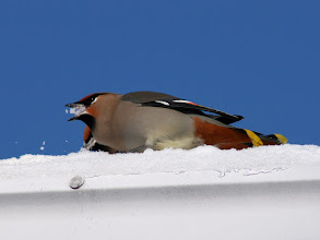 Photo: For #BirdPoker : Colourful curated by +Phil Armishaw  and #SongbirdSaturday curated by +John Briggs  A Bohemian Waxwing eating snow from my roof. These have really nice splashes of colour, and their song is subtle but unmistakable. I always know when they are in town just by the sound. They come every year, but in 2007 there were hundreds on my house and in the junipers eating berries.