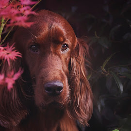 Rohan by Ken Jarvis - Animals - Dogs Portraits ( irish, irish setter, setter, portrait, dog portrait )
