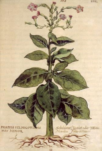 http://www.saludycomunicacion.com/blog/wp-content/uploads/2008/03/planta-de-tabaco.jpg