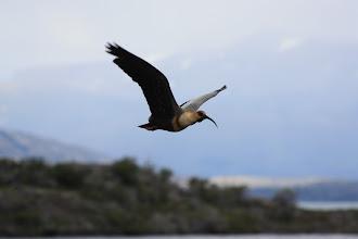 Photo: Black-faced ibise