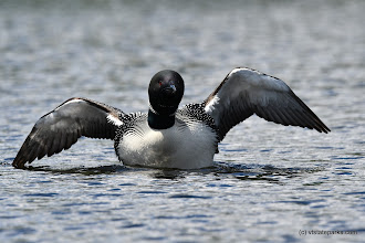 Photo: Loon on the water by Bill Steele
