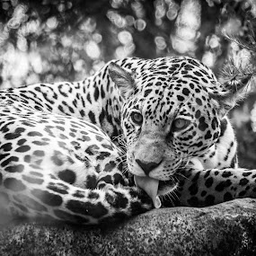 Fierce leopard by Claude Lupien - Black & White Animals ( big cat, cat, licking, meow, tongue, whiskers, leopard )