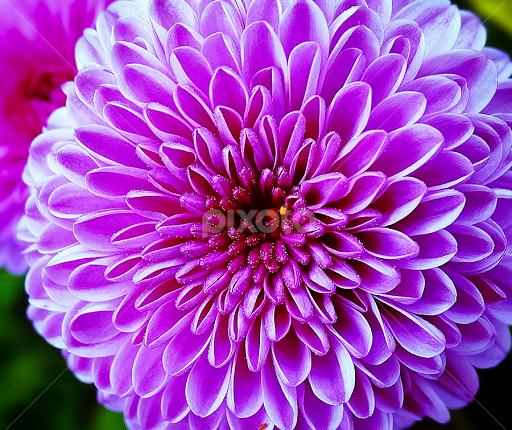 Bursting pink single flower flowers pixoto bursting pink by sue delia flowers single flower purple pink flower mightylinksfo