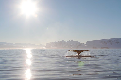 whale-tail.jpg - A whale tail seen during a Ponant sailing to Antarctica.