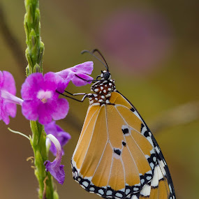 The Sleepy tiger by Prajwal Ullal - Animals Insects & Spiders ( butterfly, macro,  )