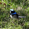Superb Fairy-wren (mature male)