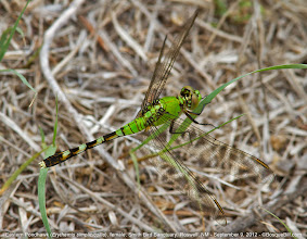 Photo: Eastern Pondhawk Dragonfly female. This is not a common species in New Mexico; we mostly have Western Pondhawks here.  +BugsEveryday #wildlifewednesday