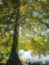 Photo: Sunlight on a tree at Eastwood Park in Dayton, Ohio.
