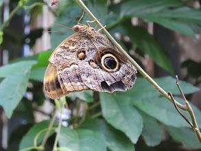 "Photo: The Owlbutterfly's two ""eyes"" mimic an owl to fool predators."