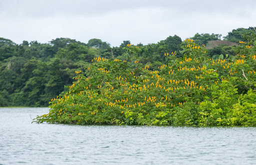 Wildflowers along Gatun Lake, the manmade waterway that connects the Atlantic and Pacific oceans.
