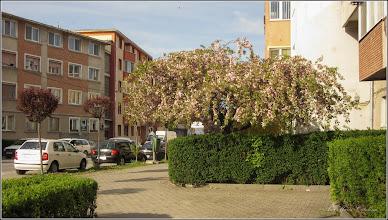 Photo: Cires japonez (Prunus Surrulata)  - din Turda, Str. Libertatii - 2019.04.16