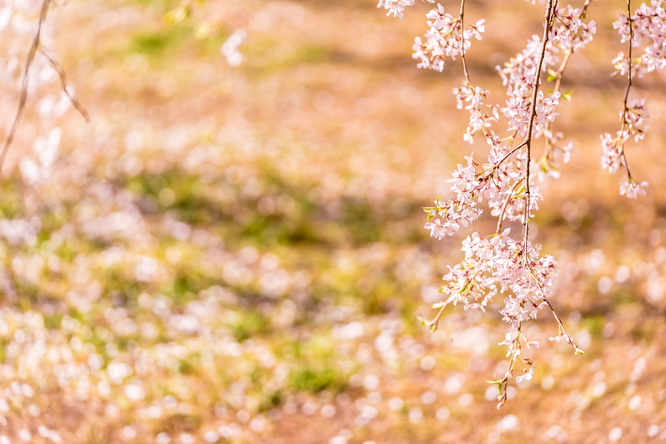 京都御苑 近衛邸跡 桜6