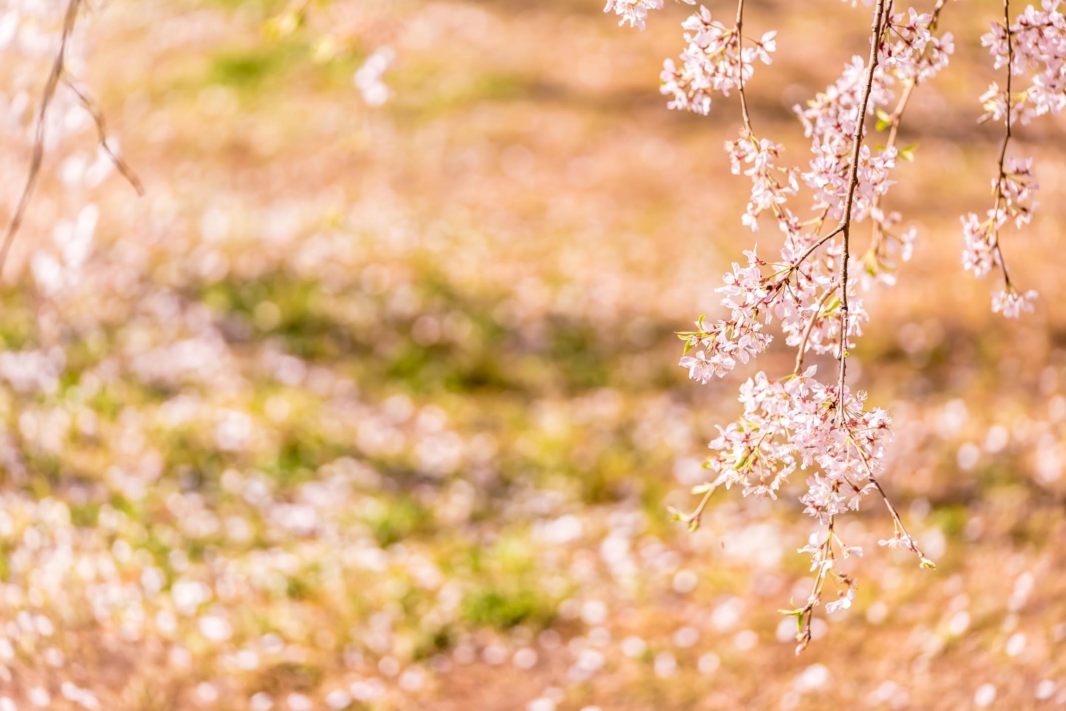 Kyoto gyoen Konoe Mansion site cherry blossoms6