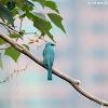Eumyias thalassinus 銅藍鶲