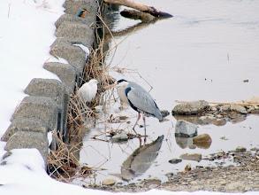 Photo: 撮影者:粕谷和夫 カワセミ タイトル:野鳥が集うスポットにカワセミ 観察年月日:2014年2月11日 羽数:1羽 場所:浅川・鶴巻橋下の上流側 区分:行動 メッシュ:八王子5K コメント:野鳥の集うスポットにカワセミがいた。鶴巻橋から川を覗くと右岸のワンド状の所にコサギ1、アオサギ1、カワセミ1、カルガモ2、カワウ4が一緒にいて、このうちカワセミ、コサギ、アオサギが1枚の写真に収まってくれた。