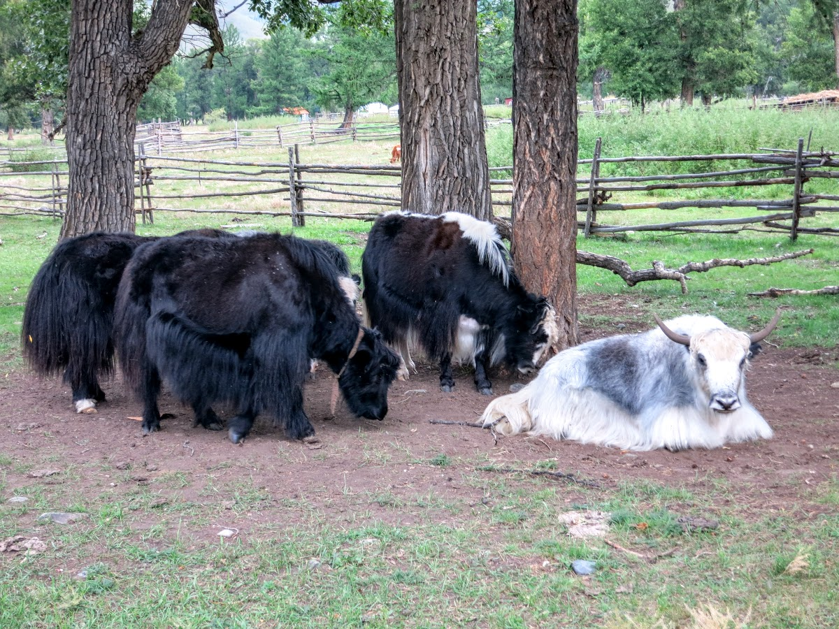 Yaks, included a rare white one