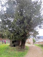 Photo: Otro Teixo ,este  al lado de un Horno comunitario.