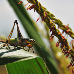 Grasshopper by Aaron Gould - Animals Insects & Spiders ( green, leaf, grasshopper )