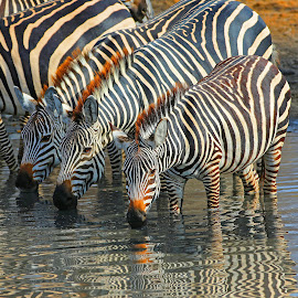 Zebra Reflections! by Anthony Goldman - Animals Other Mammals ( tanzania, nature, east africa., burchells, reflection drinking, mammal.zebra, water, wildlife,  )