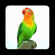Kicau Lovebird