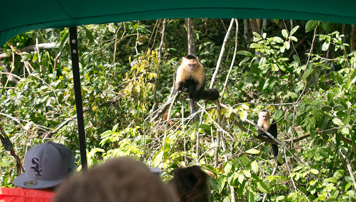 Capuchins-approaching-boat.jpg -  Capuchin monkeys approaching our boat at Monkey Island in Panama.