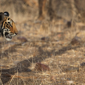 Ranthambore India by Kedar Banerjee - Novices Only Wildlife ( stripes, national forest, tiger, india, wildlife )