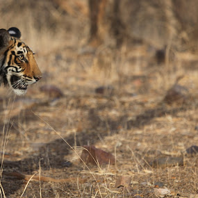 Ranthambore India by Kedar Banerjee - Novices Only Wildlife ( stripes, national forest, tiger, india, wildlife )