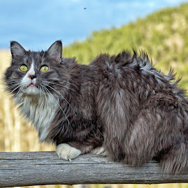 Farm Cat - 6411 by Twin Wranglers Baker - Animals - Cats Portraits