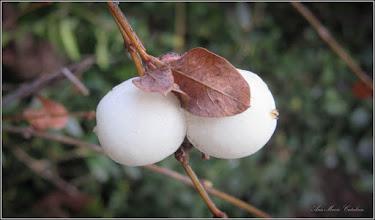 Photo: Hurmuz alb (Symphoricarpos albus) - de pe Calea Victoriei, B15 - 2017.12.27