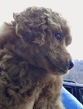 Photo: Je `taime Cherie vom Ronthaler Gütl - 5 Wochen alt