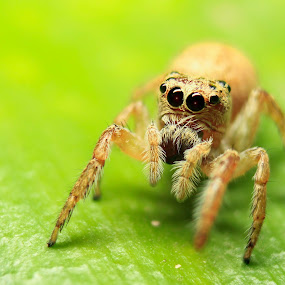 Jumping Spider by Krizzel Almazora - Animals Insects & Spiders ( canon, spiders, nature, macro photography, insects, kitlens,  )