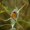 Flame-throated warbler