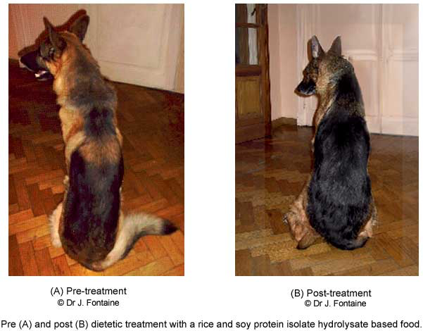 German sherpherd suffering from exocrine pancreatic insufficiency