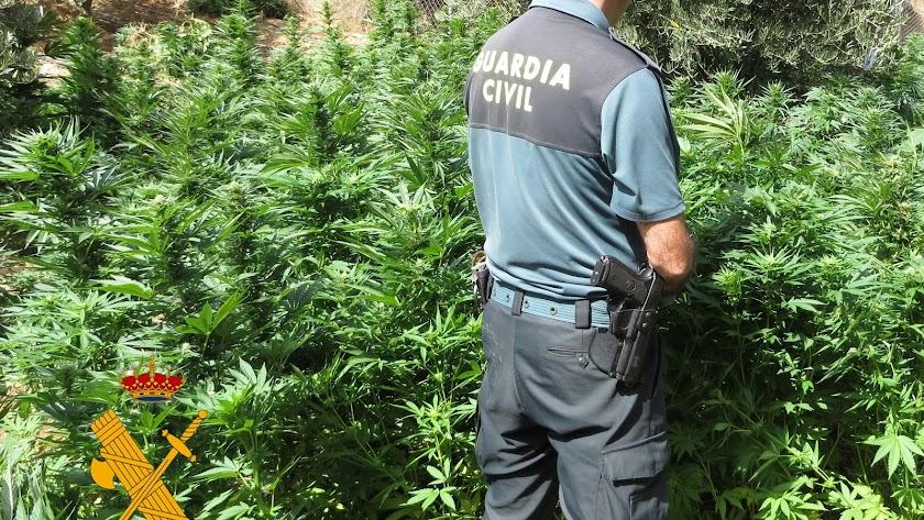 La plantación localizada por la Guardia Civil en Oria
