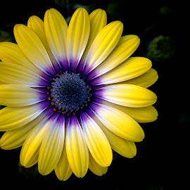 Daisy by Mark Ritter - Flowers Single Flower ( macro, nature, flora, beautiful, garden, closeup, floral, flower,  )