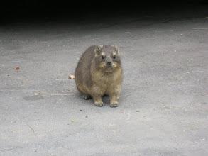 Photo: A friendly dassie at Montagu Springs