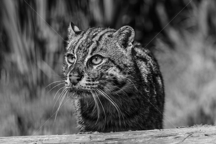 Fishing by Garry Chisholm - Black & White Animals ( garry chisholm, predator, carnivore, nature, black and white, wildlife, fishing cat )