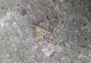 Photo: Acasis viretata    Lepidoptera > Geometridae