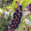 Pokeweed Berry