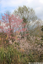 Photo: 拍攝地點: 梅峰-梅楓園 拍攝植物:櫻(粉色 富士櫻)與暖地櫻桃(白色)與臺灣赤楊(綠色) 拍攝日期: 2014_02_18_FY