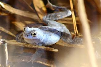 Photo: Moorfrosch-Männchen