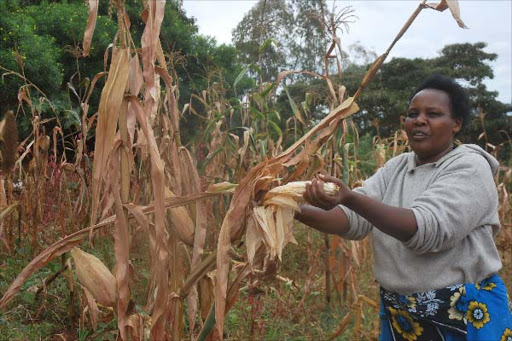 Sarah Nyamae a farmer from Kalimoni in Machakos county harvests maize in her farm.