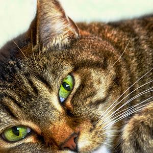 Tiger Cat (1 of 1).jpg