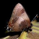 Hairstreak orcidia