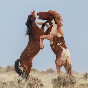 Attitude by Brandi Nichols - Animals Horses ( wild horse, stallions, wyoming,  )