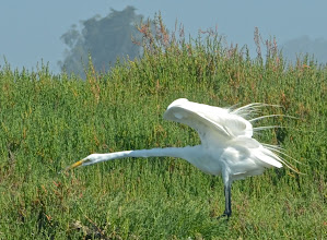 Photo: 133. Here's a great egret, showing off some of its gorgeous plumage.